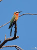 White Fronted Bee-eater 5