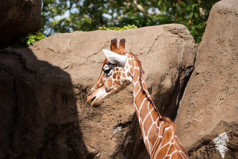 giraffe-3.jpg