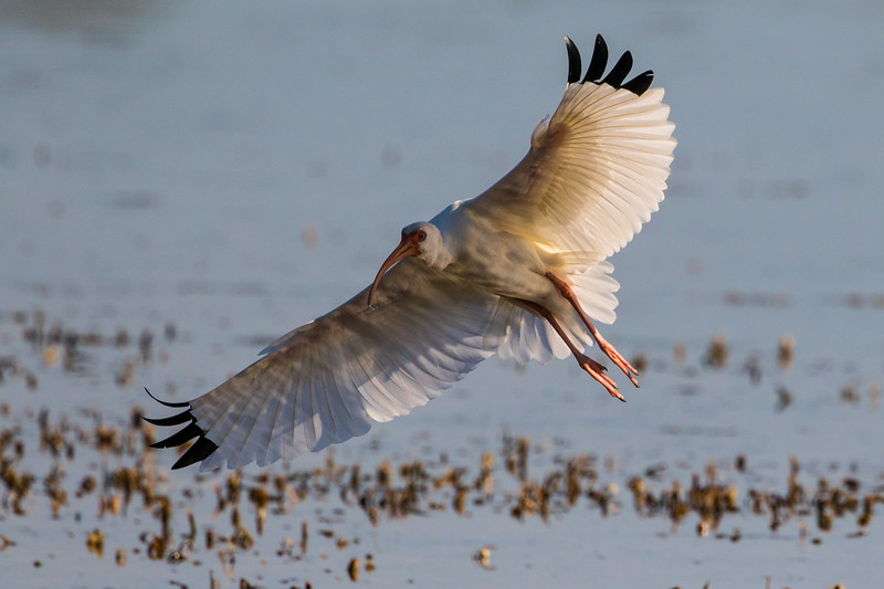 White Ibis So. FL 2020-1.jpg