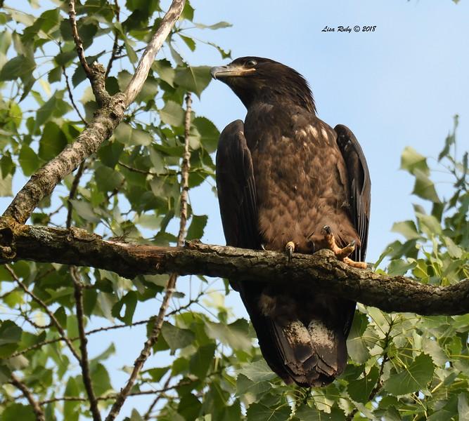 Juvenile Bald Eagle  - 6/26/2018 - Decorah, Iowa, Fish Hatchery