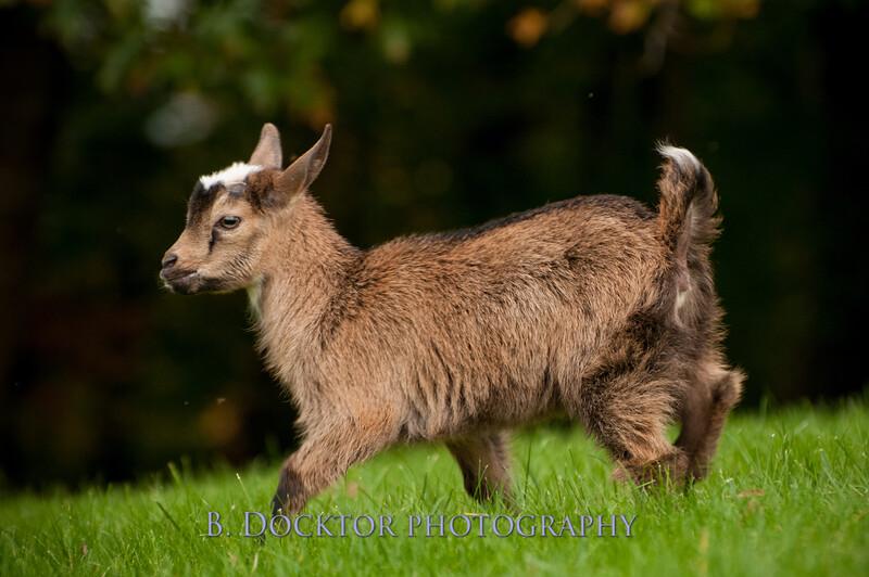 1310_Nigerian dwarf goats_075.jpg