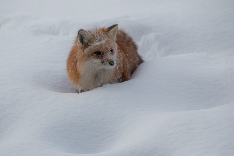 3840-Red Fox-©Yvonne Carter.jpg