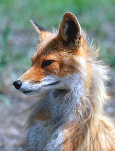 Foxes and other Alaskan mammals