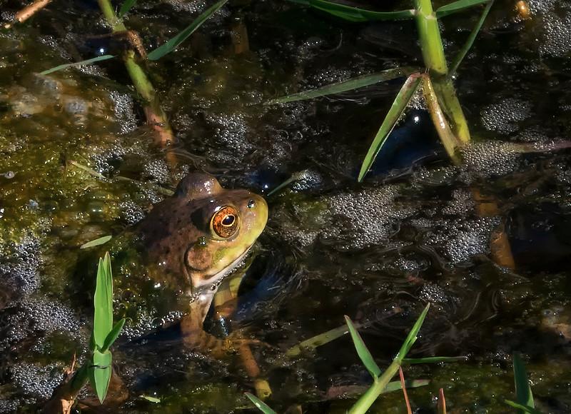 laguna frog.jpg