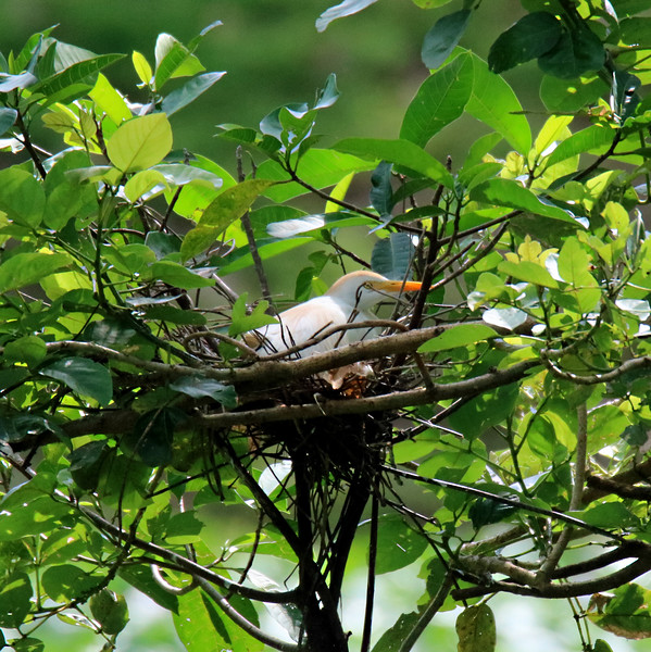Cattle Egret Juvenile in Nest