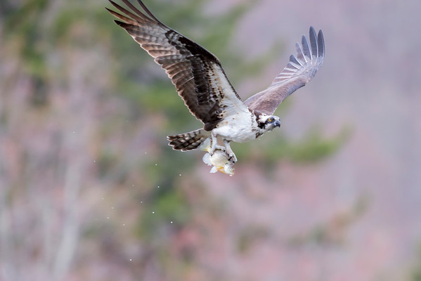 Hawk of the sea  - the osprey
