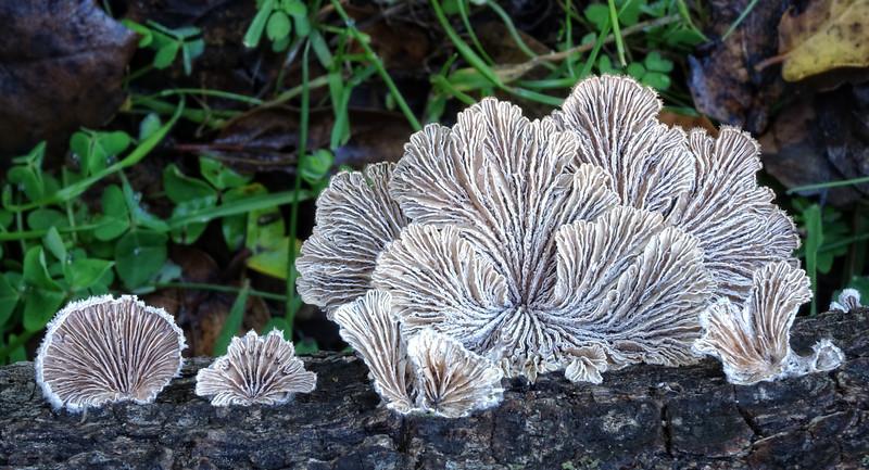 Split Gill fungus - Schizophyllum commune