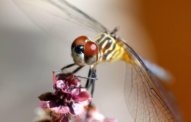 female blue dasher dragonfly on basil blossom