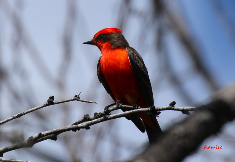 Vermillion Flycatcher 3-22-15 1054.jpg