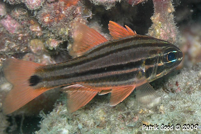 Sydney Cardinalfish