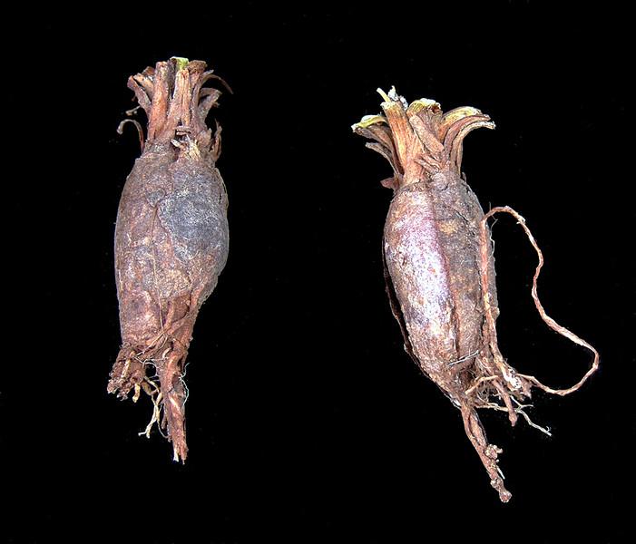Pelargonium monofiliforme tuber