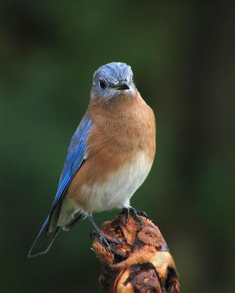 bluebird_fledgling_2648.jpg