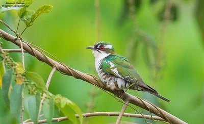 Cuckoos Family Cuculidae