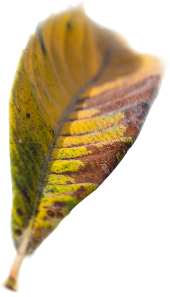Leaf 16.png