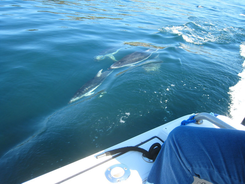 Pacific White-sided dolphin swimming alongside the boat.