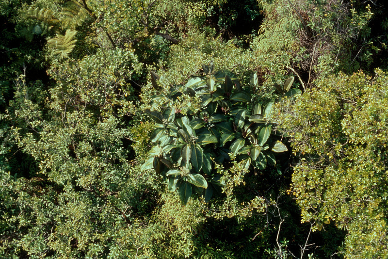 In Hana, miconia quickly made the jump into neighboring ohia forest.  (photoID:bhg000323)
