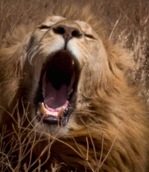 Yeaning Lion.jpg