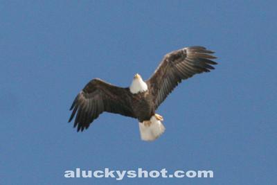 First Eagle Hunt