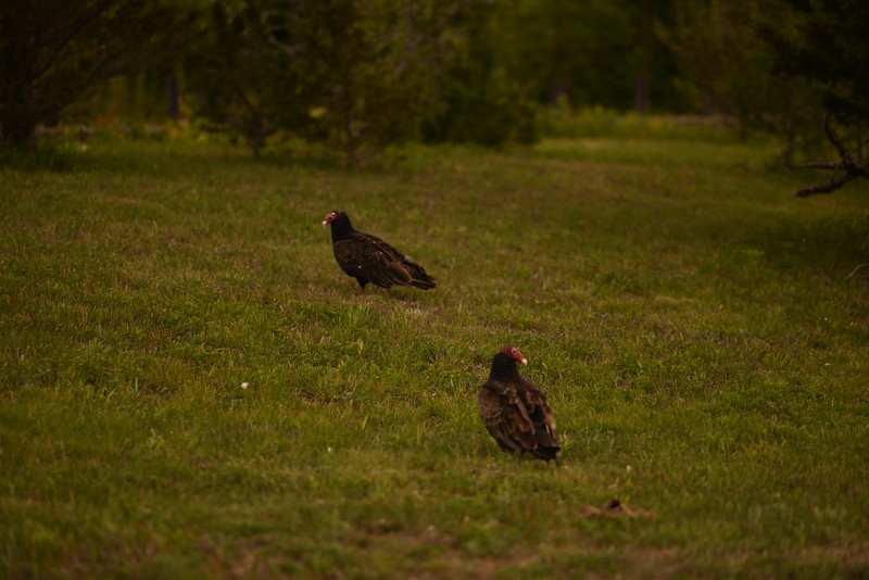 Turkey vultures near tree swallow nest box, possible juveniles , in Area 1 (Photo by Gerry McKenna)