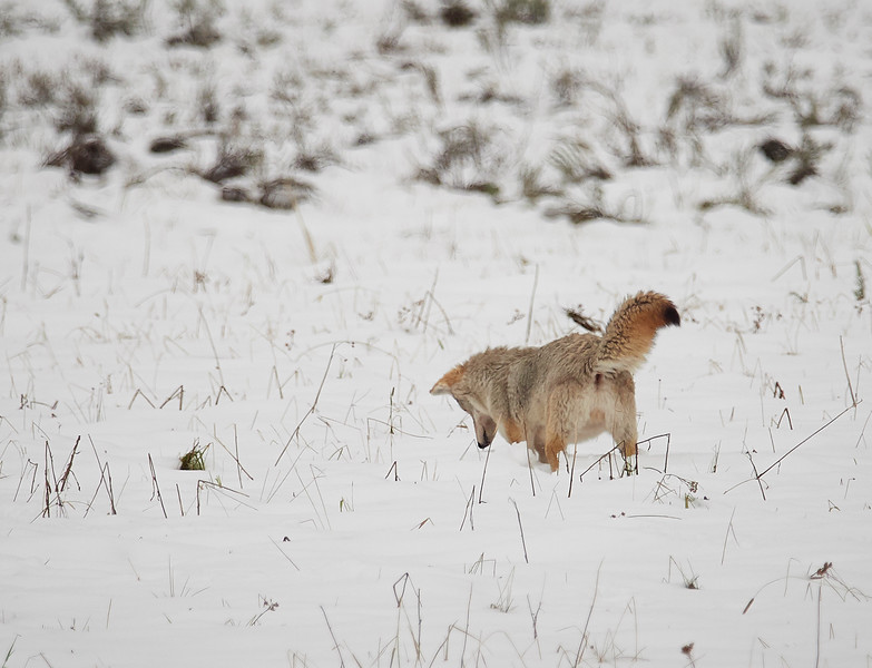 Coyote hunting for voles in the snow