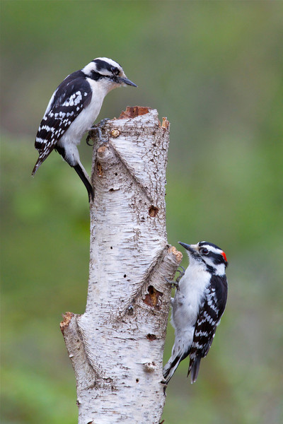Downy Woodpecker pair