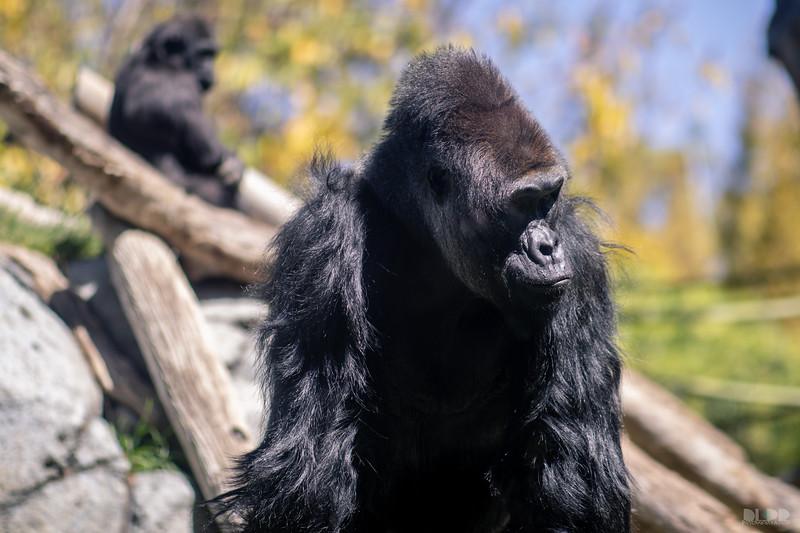 gorilla 002.jpg