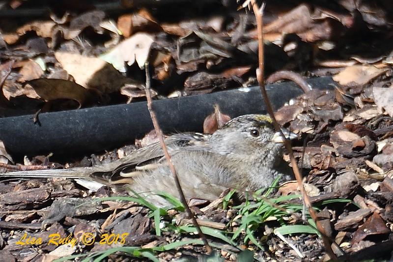 Golden-crowned Sparrow - 12/20/2018 - Backyard