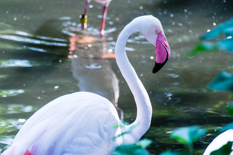 greater-flamingo_14532109049_o.jpg