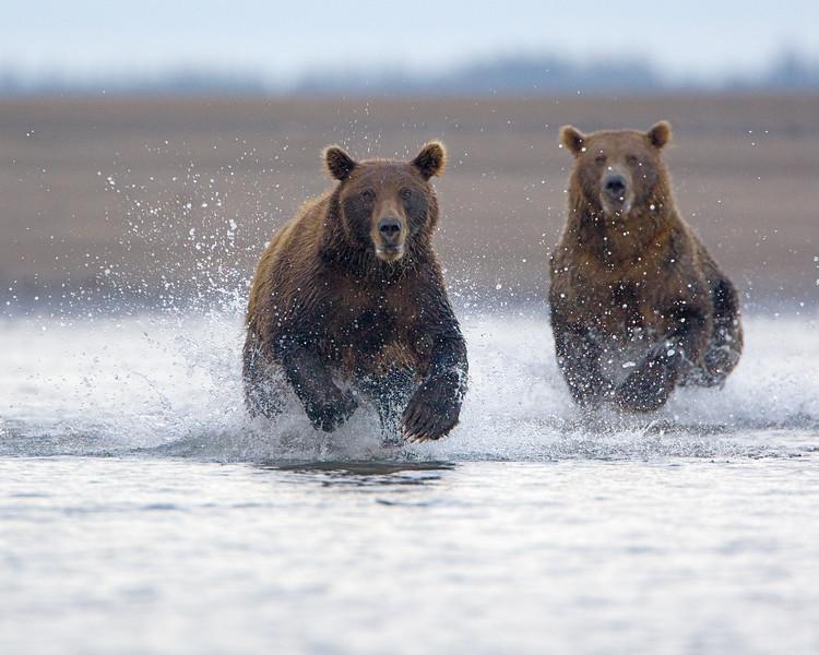 Charging Bears 24x30.jpg