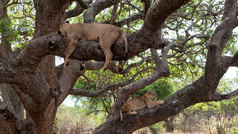Tanzania-Tarangire-National-Park-Safari-Lion-08.jpg