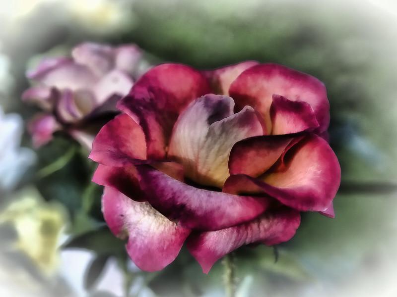 November 14 - Yep_ another rose.jpg
