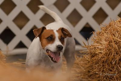 Treasured Canine Academy Barn Hunt Club