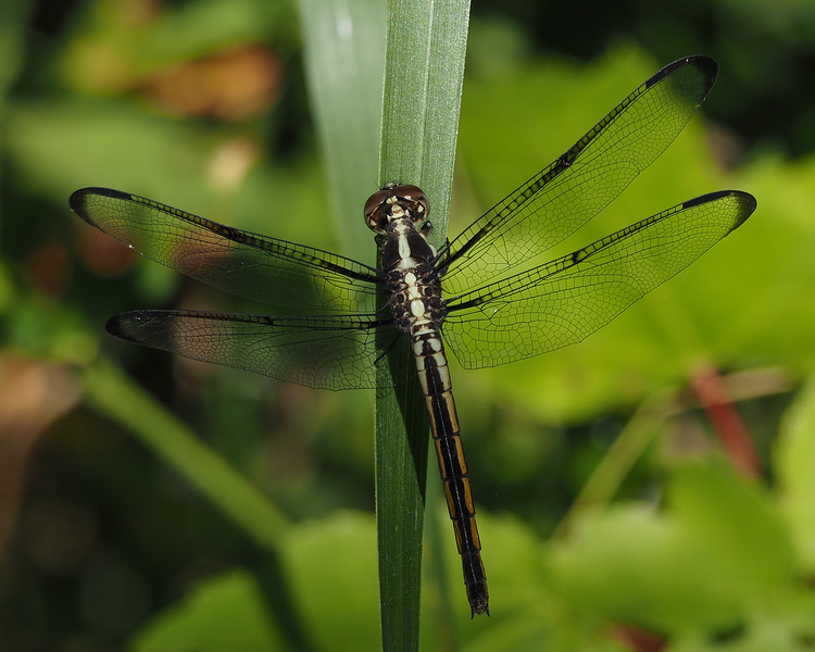 Slaty Skimmer, female