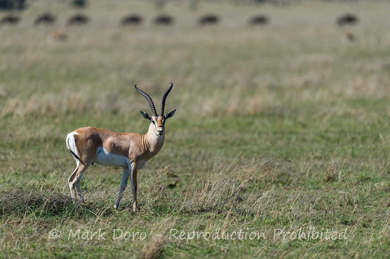 Grant's Gazelle, Serengeti, Tanzania
