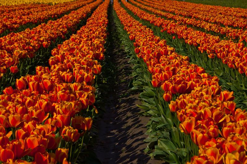 TulipFestival-203.jpg