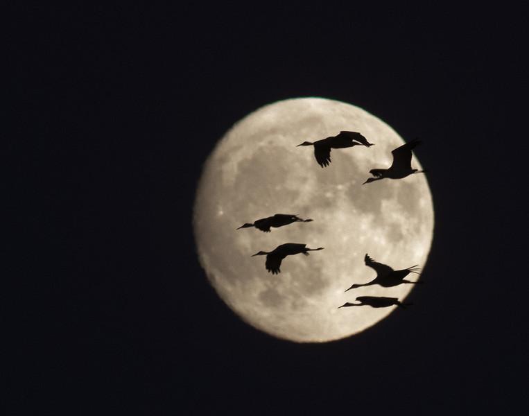 Sandhill Crane full moon fly in flight Crex Meadows Grantsburg WI IMG_2204.jpg