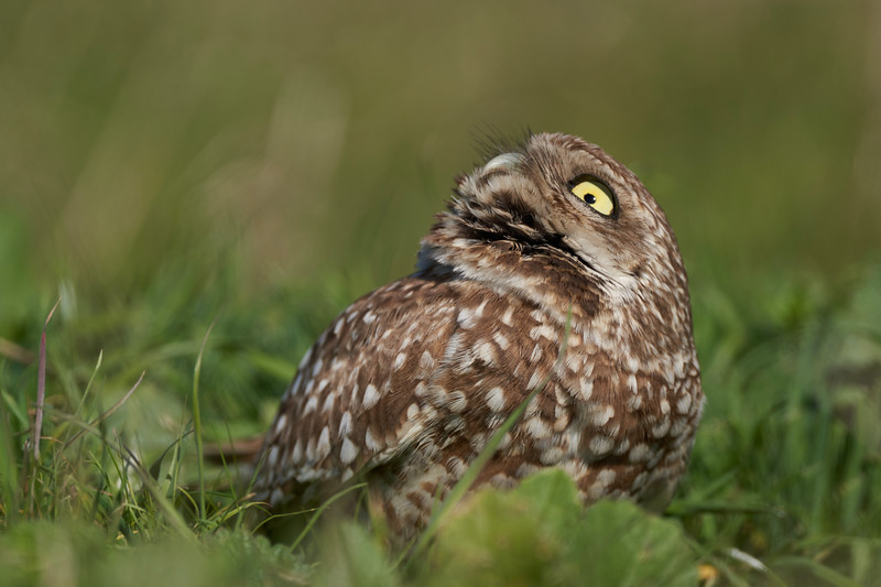 Burrowing Owl in Point Reyes
