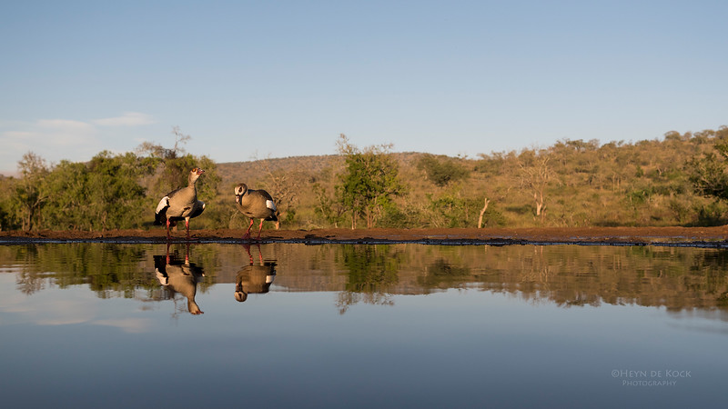 Egyptian Goose, Zimanga, South Africa, May 2017-2.jpg