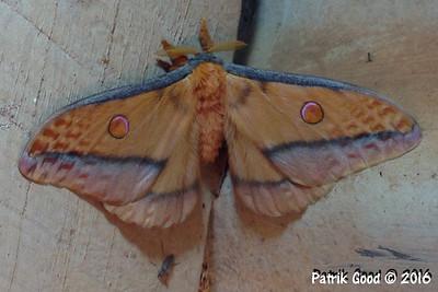 Mistletoe Emperor Moth
