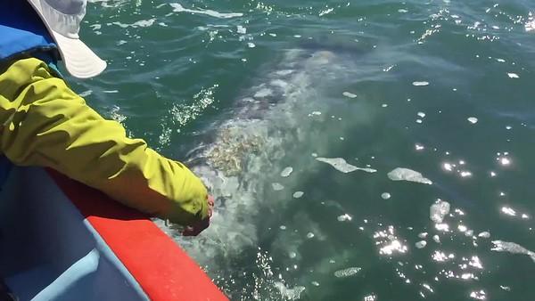 San Ignacio Whales Video 2019