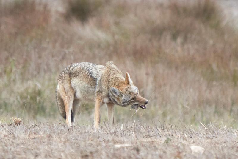 Coyote Hunt in Point Reyes