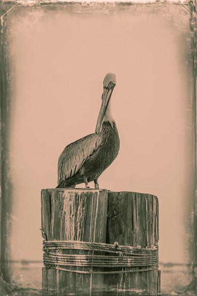 Pelican 2nd Contender Wet Plate Sepia.jpg