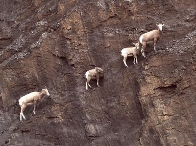 Elk & Sheep