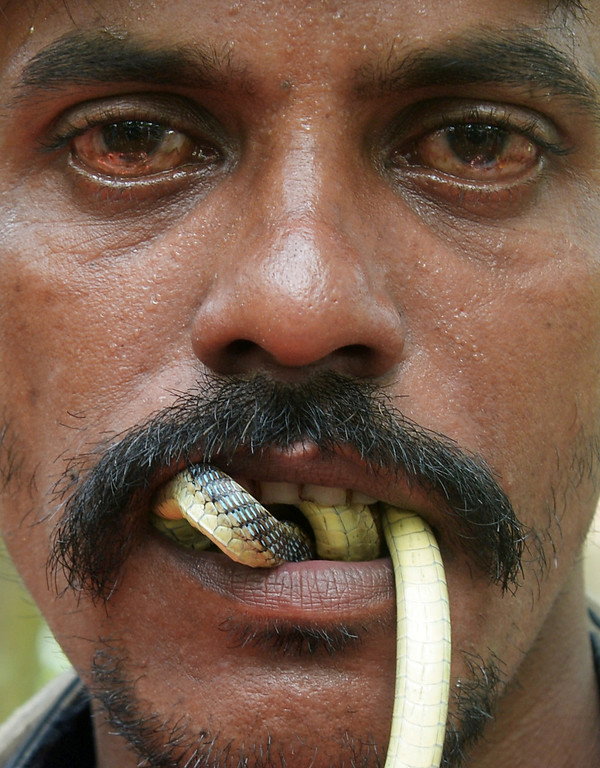 . An Indian snake charmer performs with a \'gokhra\' - cobra - in his mouth for passers by at a snake fair at Purba Bishnupur village, around 85 kms north of Kolkata on August 17, 2013.  Hundreds of people queued in a remote village in eastern India over the weekend to receive blessings from meters-long and potentially deadly snakes, thought to bring them good luck.  DIBYANGSHU SARKAR/AFP/Getty Images