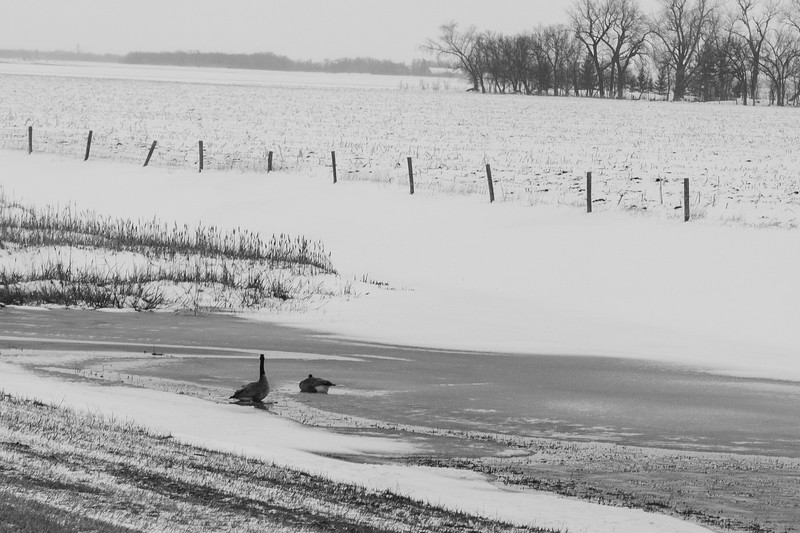 Geese Couple In Snow