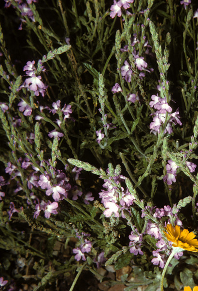 Hillside Vervain (Verbena neomexicana) Big Bend National Park, TX, 1958