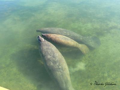 Manatees (wild) at Key Largo