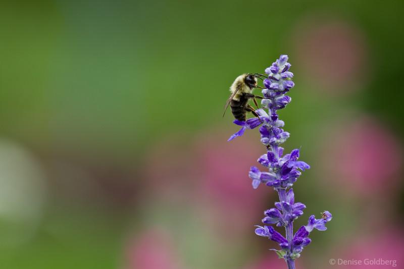 bee feeding, purple flower