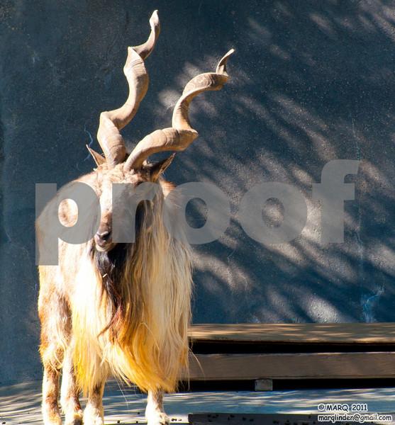 Big Horn Sheep #1.jpg