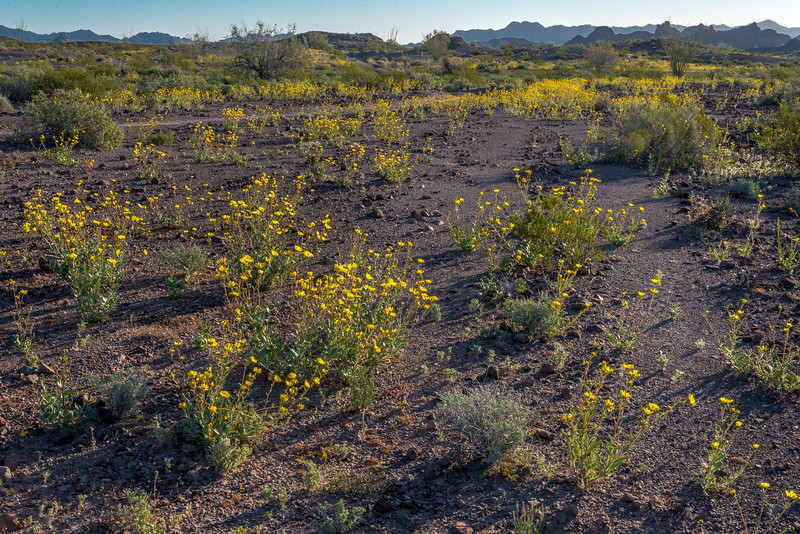 Desert Sunflowers #4